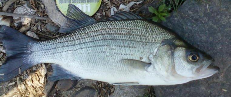White Bass -  Morone chrysops