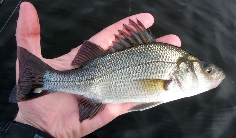 White perch images galleries with a bite for White perch fish